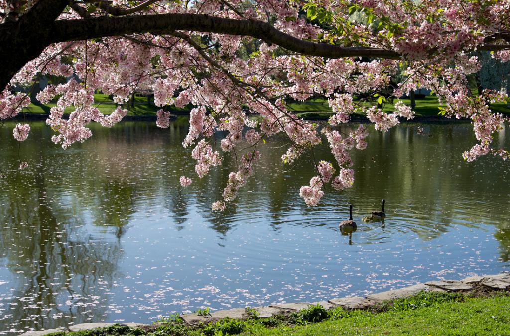 blossoms-swan