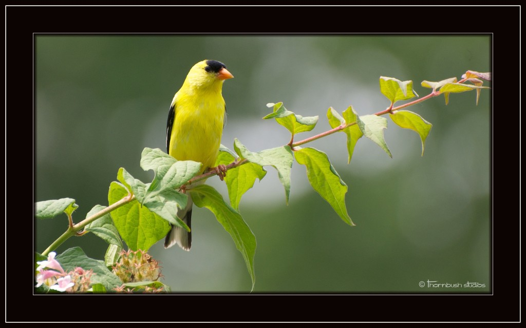 Yellow Finch  Crop